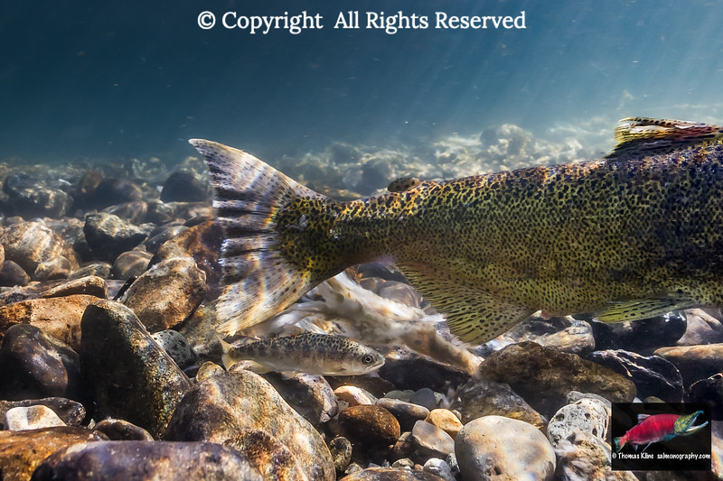Precotial parr stage male Chinook Salmon