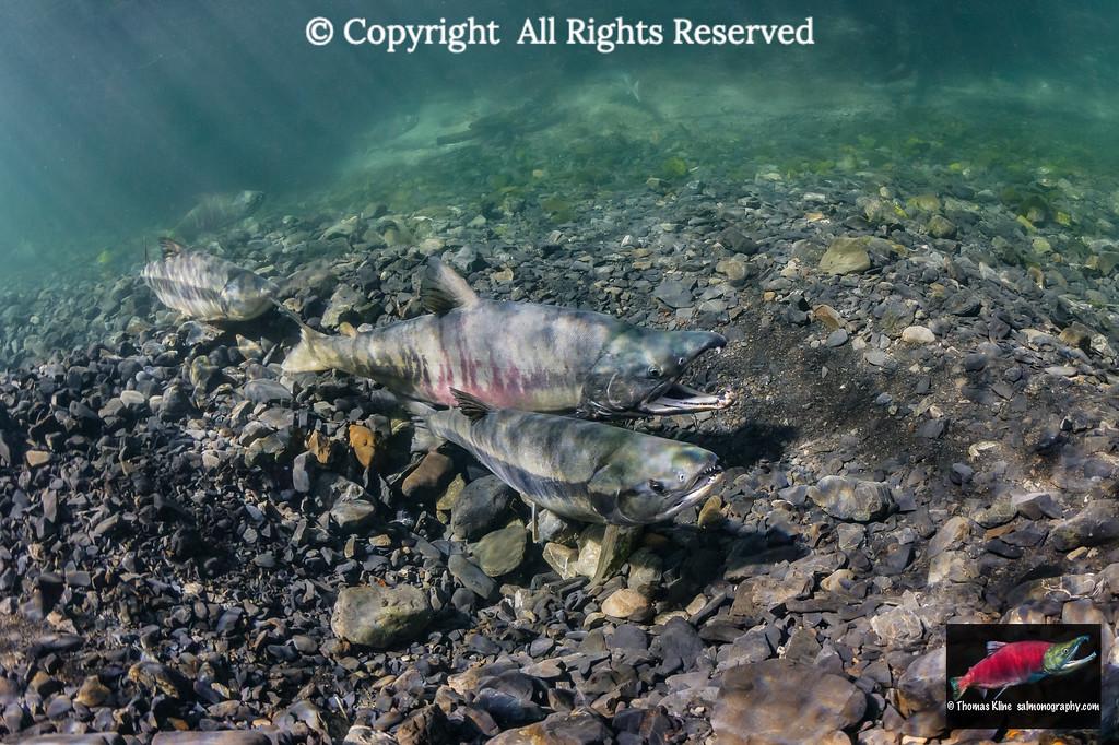 Female Chum Salmon probing her redd