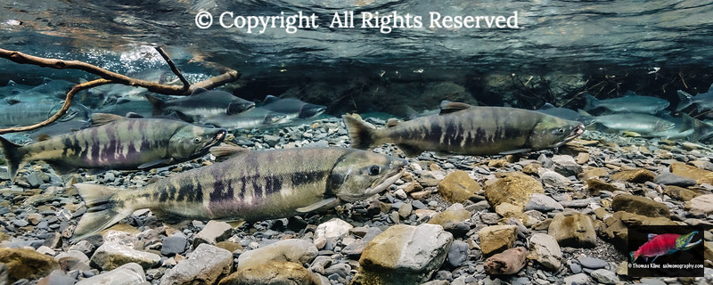 Chum and Pink salmon