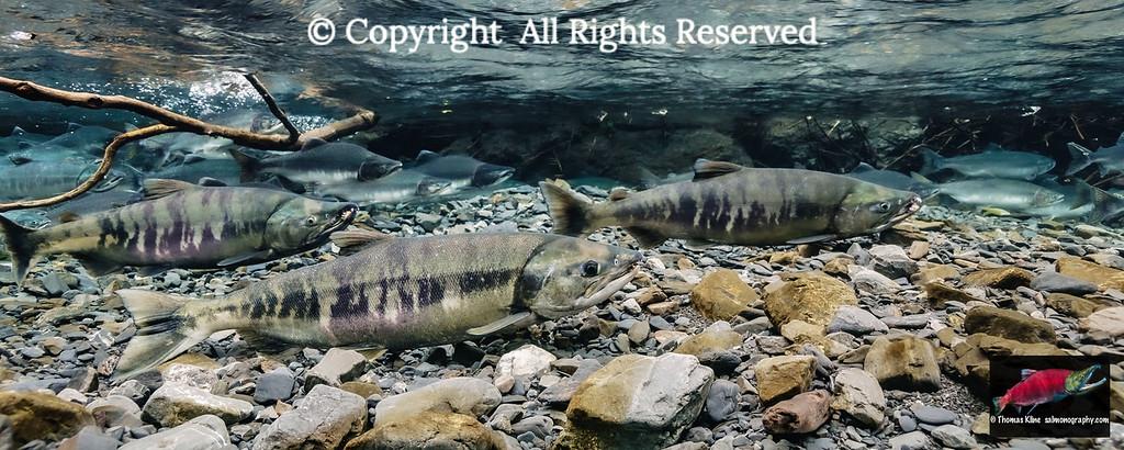 Chum and Pink salmon