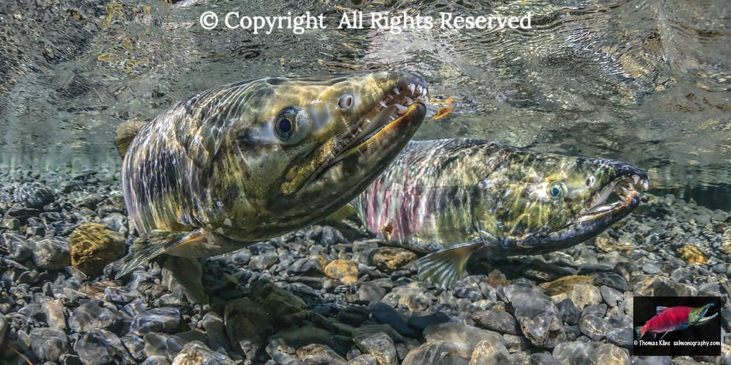 Chum Salmon spawning pair
