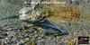Chum Salmon spawners
