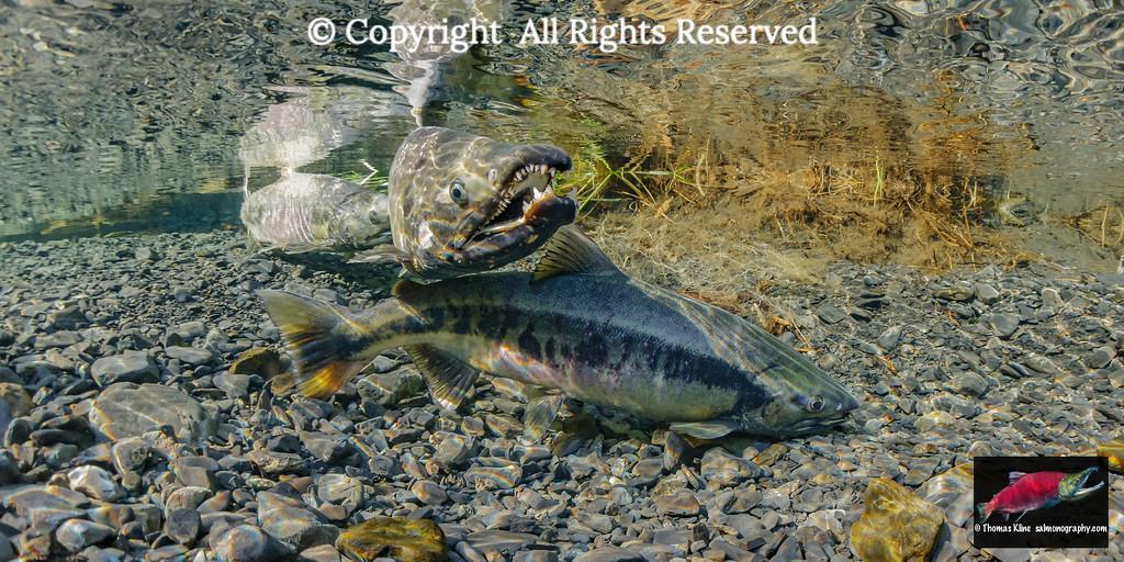 Chum Salmon (Oncorhynchus keta) female optimizing olifation by dipping her body.
