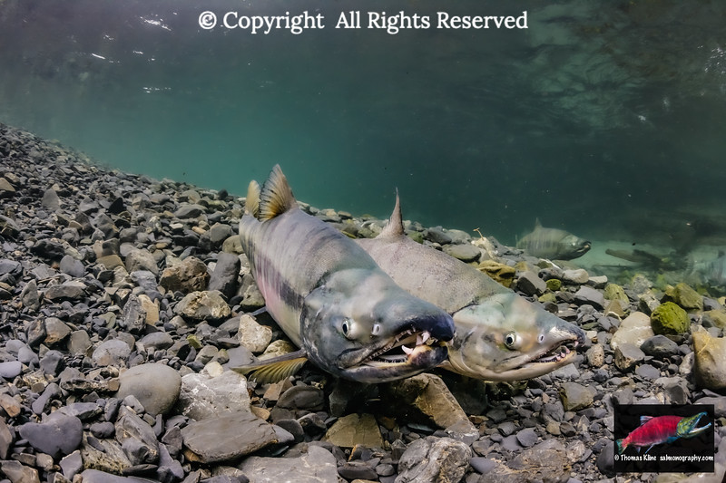 Two Chum Salmon males