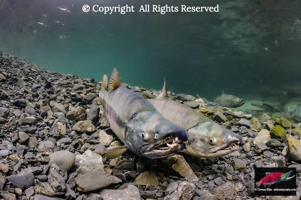 Two Chum Salmon males