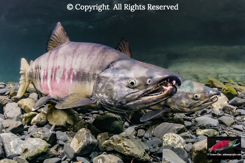 Mature male Chum Salmon