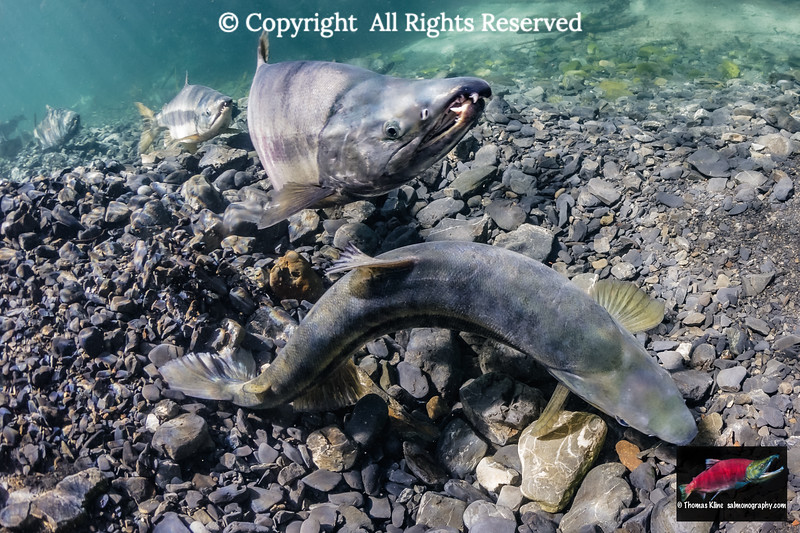 Female Chum Salmon excavating her redd