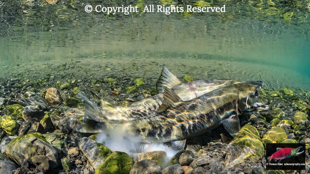 A pair of Chum Salmon spawning
