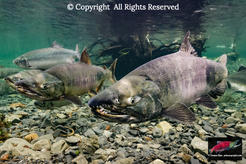 Chum Salmon spawning migration