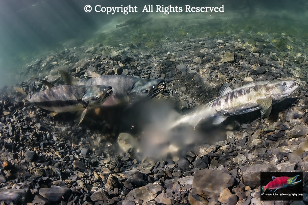 Female Chum Salmon covering her redd