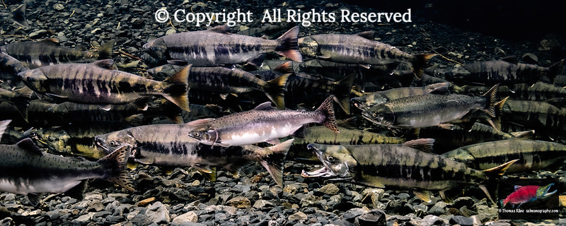 Maturing Chum and Pink salmon