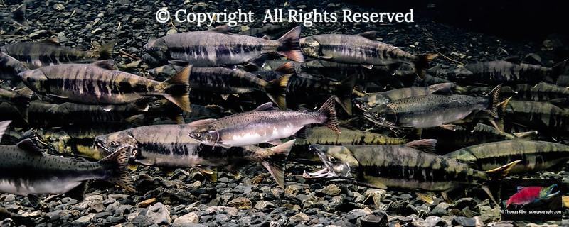 Maturing Chum and Pink salmon