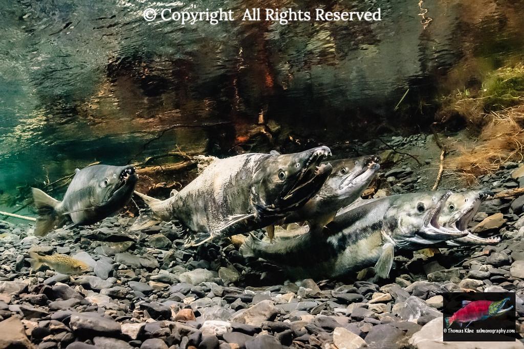 Chum Salmon spawning