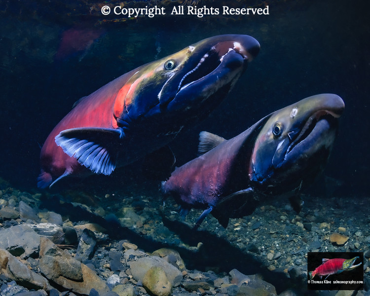 Rival Coho Salmon males