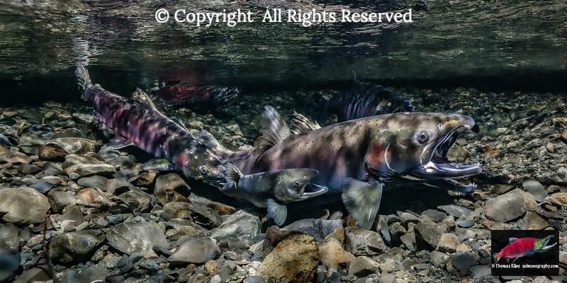 Spawning Coho Salmon including a jack