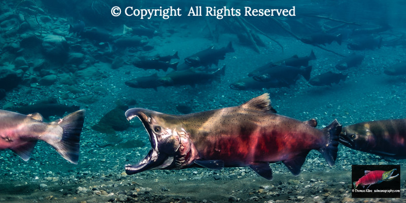 Male Coho Salmon doing gaping threat display
