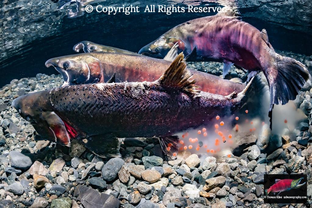 Coho Salmon spawning