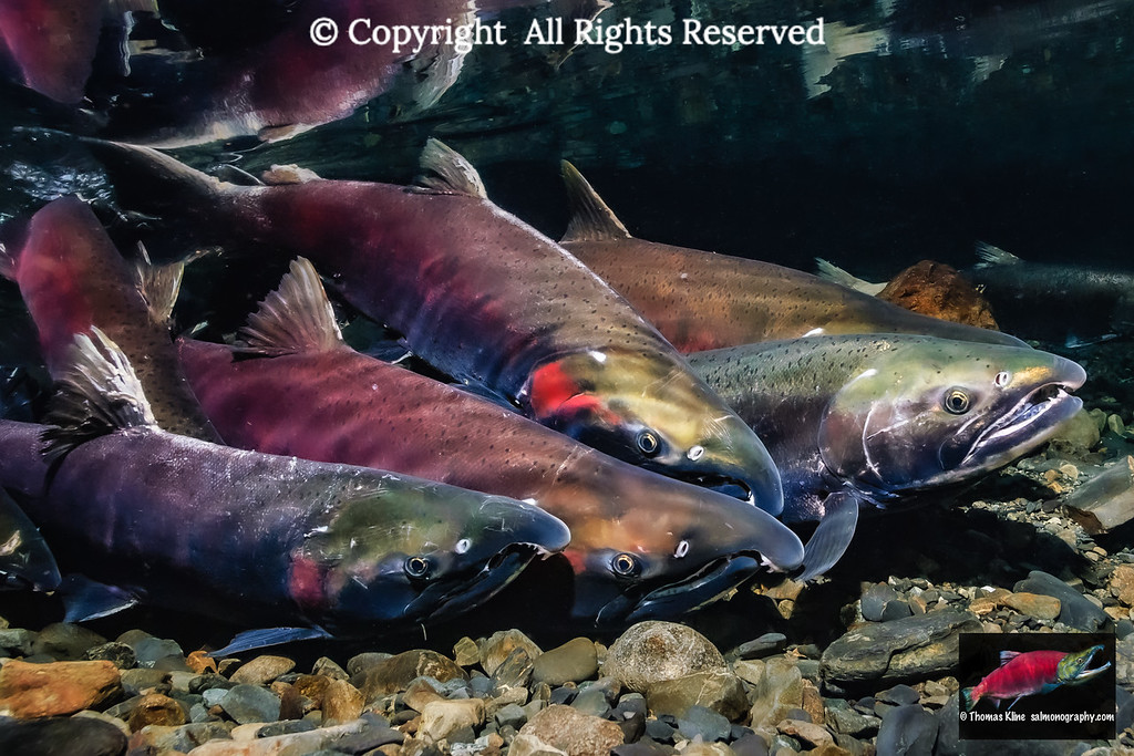 Female Coho Salmon with an entourage of males
