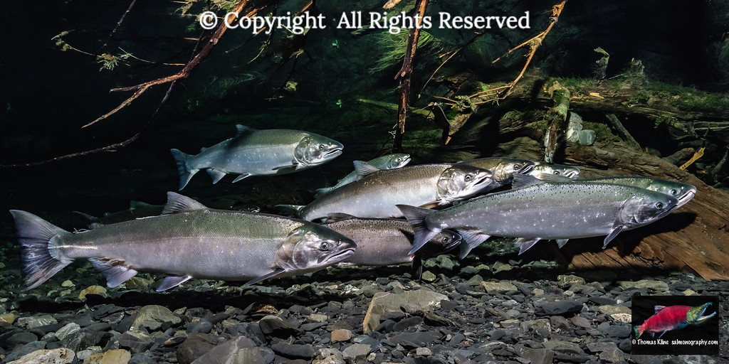 Ocean bright Coho Salmon
