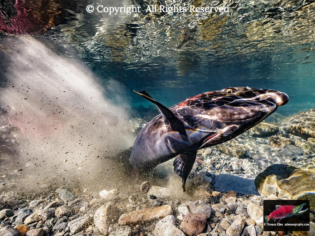 Female Coho Salmon kicks up glacial sediment