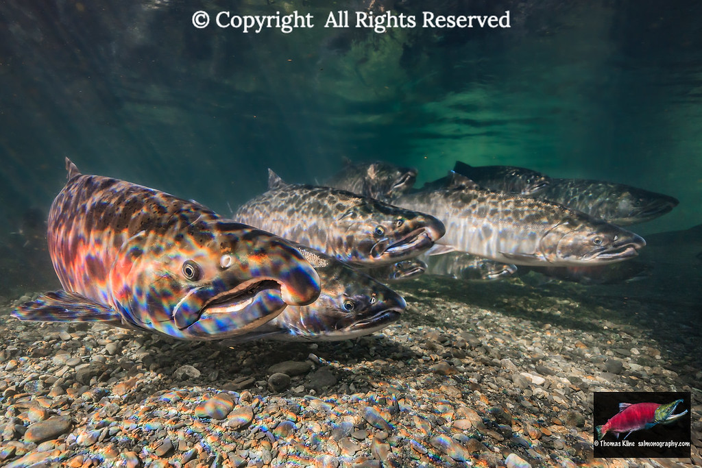 Coho Salmon spawning migration