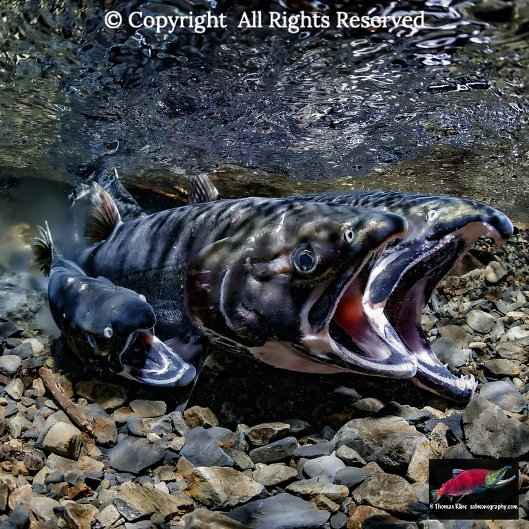 Coho Salmon in the actof spawning including a jack