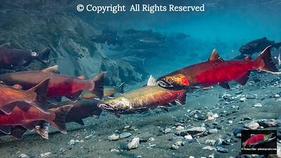 Coho Salmon undergoing final maturation