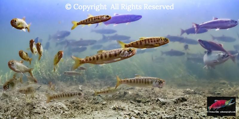 Salmon Generations
