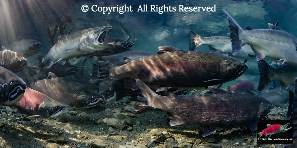 Maturing Coho Salmon