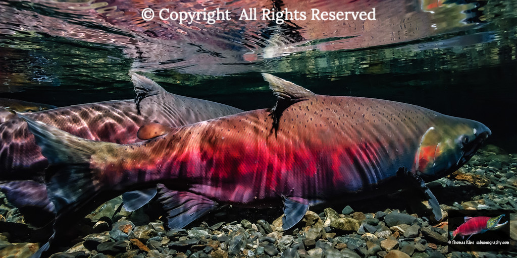 Spawning colors of Coho Salmon