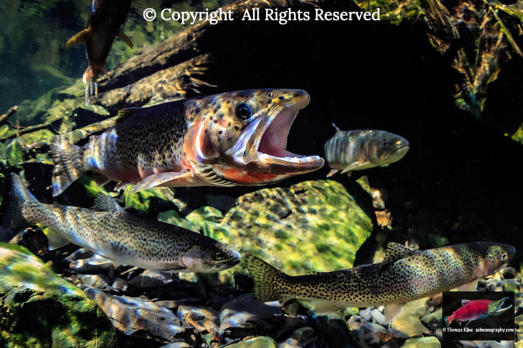 Gaping male Cutthroat Trout