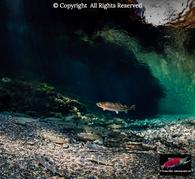 A Coastal Cutthroat Trout and Dolly Varden in a deep pool