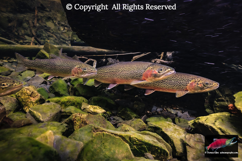 Cutthroat Trout spawning run