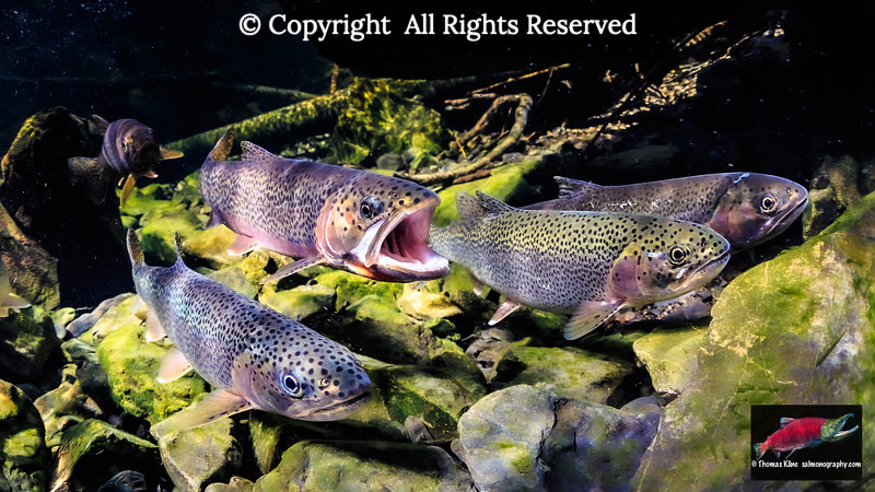 Searun Coastal Cutthroat Trout spawning migration