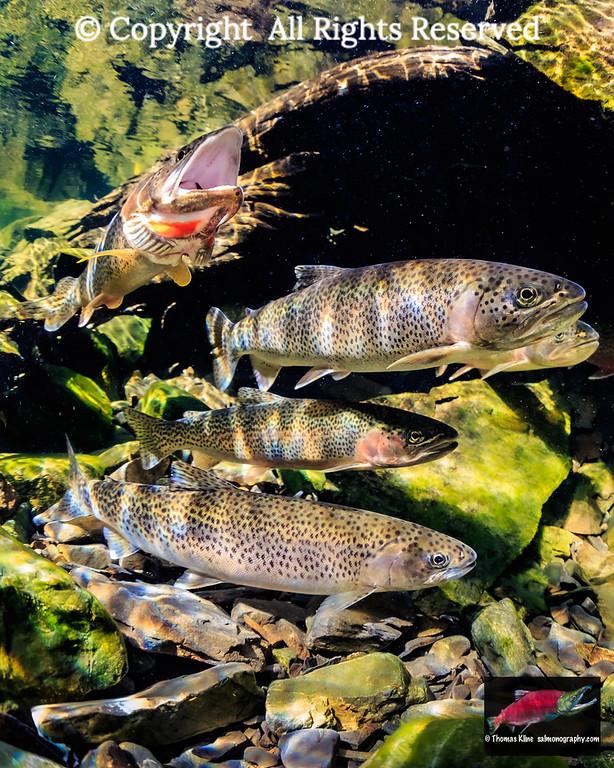 Gaping Searun Coastal Cutthroat Trout