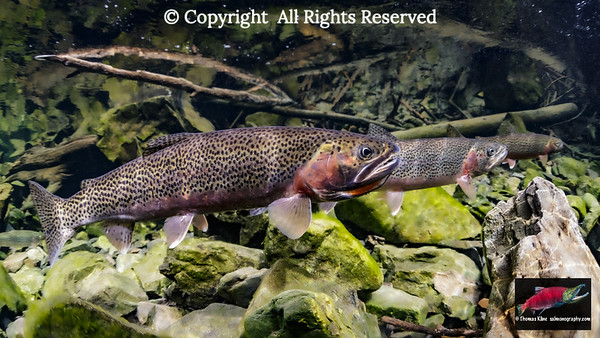 Male Cutthroat Trout flared throat aggressive display