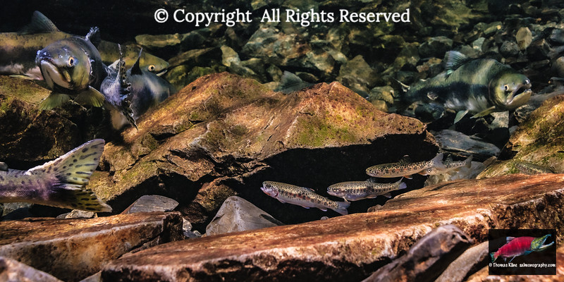 Juvenile Coastal Cutthroat Trout with adult Pink Salmon