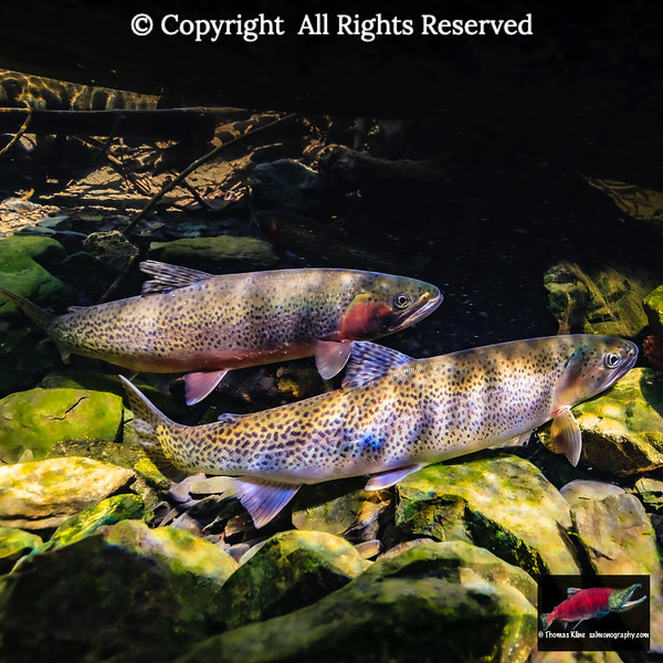 Cutthroat Trout pair