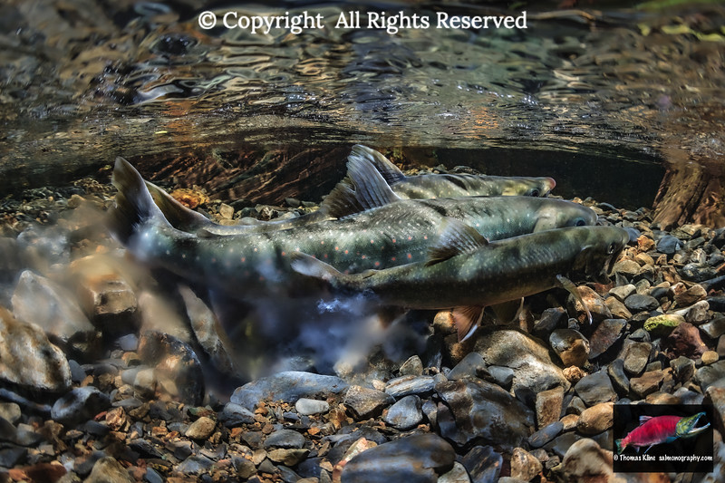 Dolly Varden spawning