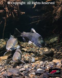 Dolly Varden spawning pair with intruding Coho Salmon jack