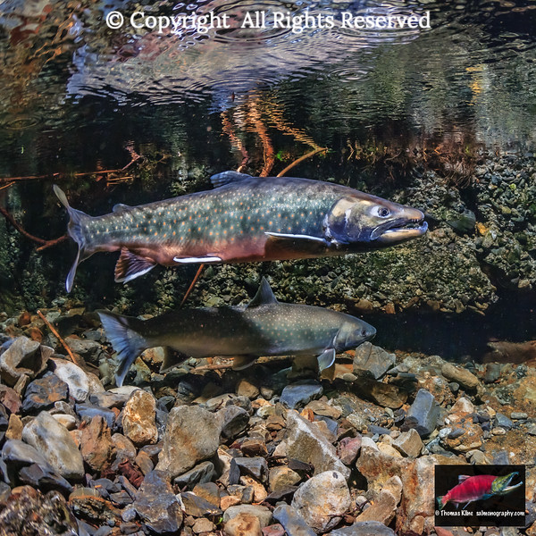 Dolly Varden spawning pair courting within the ruins of an Alaska Territory salmon hatchery