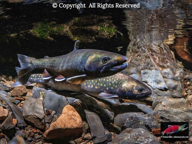 Dolly Varden pair