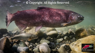 Dolly Varden and Chinook Salmon female