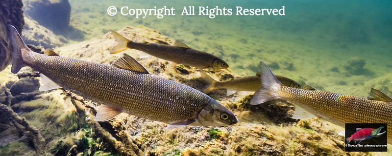 Round Whitefish on the  move
