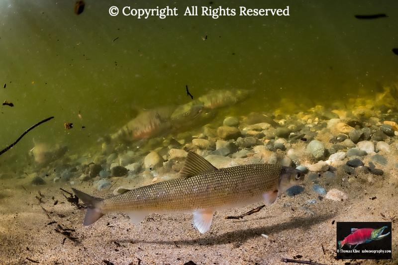 A Round Whitefish  forages near migrating Chum  Salmon