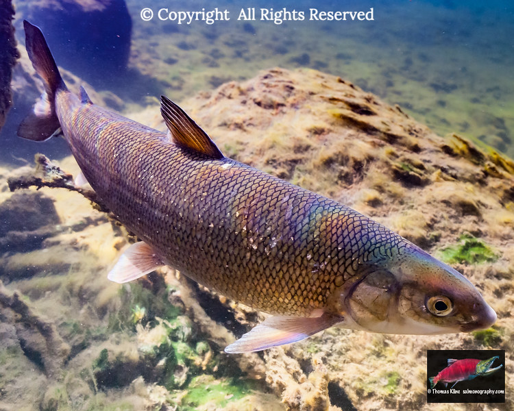 Underwater view of round whitefish (Prosopium cylindraceum; Corregoninae; Salmonidae) in the east fork of the Gulkana River, a tributary of the Copper River, South Central Alaska. Summer. Aspect ratio = 4:5..