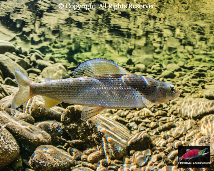 Arctic Grayling in Twelvemile Creek, Alaska