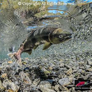 A female Pink Salmon dimples the surface