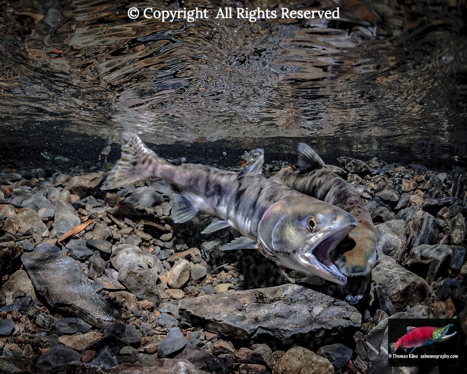 Pink Salmon female on female aggression