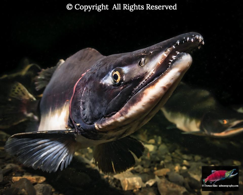 Mature male Pink Salmon